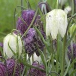 Fritillaria meleagris mixed Size:5/6 pack of 30 bulbs