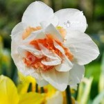 Daffodil Replete Size:10/12 pack of 12 bulbs