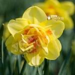 Daffodil Tahiti Size:10/12 pack of 12 bulbs