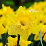 Daffodil Trumpet Yellow Size:10/12 pack of 15 bulbs