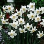 Daffodil Pheasant Eye (Narcissus recurvus) Size:12/14 pack