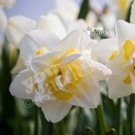 Daffodil White Lion Size:12/14 pack of 8 bulbs