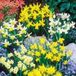 Short Mixed Daffodils – Pack of 100 Bulbs