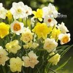 Tall Mixed Daffodils – Pack of 100 Bulbs