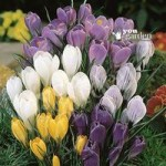 Value Jumbo Crocus – 100 bulbs Size 7/8