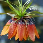 Fritillaria (Crown Imperial) Orange Bulbs Size: 20/22 – pack of 2