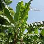 Musa basjoo (Hardy banana) plant 50cm tall