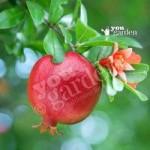Dwarf Pomegranate bush 2L
