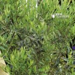 Olive Tree 1M Standard