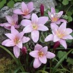 Pack of 25 Pink Fairy Lily bulbs (Zephyranthes)