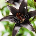 Lily Landini black bulbs – pack x 5