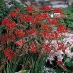 Montbretia (Crocosmia) corms – pack of 25