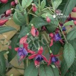 Hardy Fuchsia Climbing Lady Boothby – 6 plants