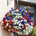 Patriotic Petunia Plant Collection red/white/blue – 18 plugs