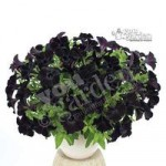 Black Petunia Back to Black – 12 plugs