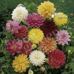 Dahlia tubers – Mixed Decoratives – pack x 10