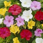 The Marvel of Peru (Mirabilis jalapa) – pack of 10 roots