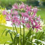Pack of 10 Nerine bowdenii bulbs (Guernsey Lily)