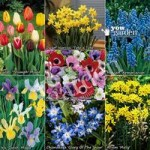 300 Spring Flowering Bulb Offer in 8 varieties