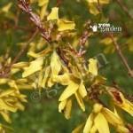 Patio Dwarf Forsythia Maree dOr plant in 9cm pot