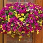 Summer Scorcher Designer Basket Plant Mix – pack of 18 plants