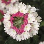 Trailing Verbena Collection x 12 Jumbo Plug Plants