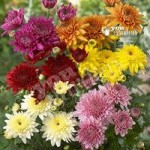 Garden Spray Chrysanthemum Plants x 12 Jumbo Plugs