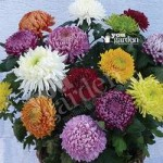 Garden Bloom Chrysanthemum Collection x 12 Jumbo Plug Plants