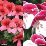 Geranium Angel Eyes mixed collection – 12 plants