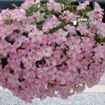 Petunia Pink Star pack of 18 plugs