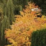 Cercidiphyllum japonicum Katsura Trees – pair in 9cm pots