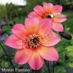 Dark Leaf Dahlia Mystic Collection – 12 plugs