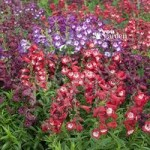 Perennial Hardy Penstemon Collection – 12 plugs