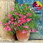 Mediterranean Oleander Collection plant collection – 3 colours in 17cm pots