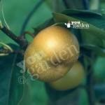 Asian Pear (Nashi) Kumoi