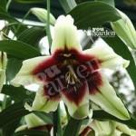 Premium Lily Kushi Maya – 3L pot