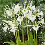Ismene (White Spider Lily) – pack of 10 bulbs size 14/16