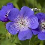 Hardy Geranium Rozanne plants x 3 in 9cm