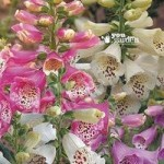 Digitalis (Foxglove) Camelot mixed coll x 6