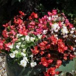 Begonia semp. Organdy Mix 40 plug plants