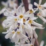 Abeliophyllum distichum (White Forsythia) plant in 9cm pot