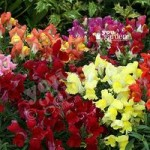 Anthirrhinum Liberty Mix 40 plug plants