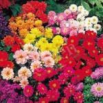 Dahlia Diabolo Mix 40 plug plants