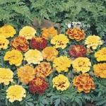 Marigold Durango Mix 40 plug plants