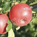 Patio Apple Sun Red bare root ree