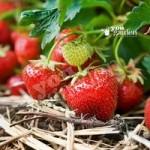 Strawberry Cambridge Favourite – pack x 20