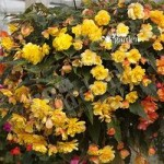 Begonia Illumination Apricot Shades x 12