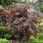 Japanese Maple (Acer) Plant Collection – 3 varieites in 10.5cm pots