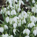 Snowdrops (Single flowered) – pack of 50 in the green