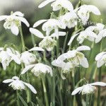 Snowdrops (Double Flowered) – pack of 25 in the green